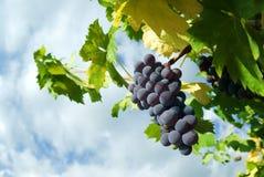 Grape of vine. Grape of black vine ripe royalty free stock photography