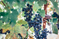 Grape on vine Stock Photos