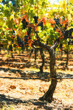 Grape Vine. With red wine grapes ripe or harvest Stock Photos