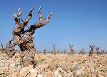 Grape-vine. Plantation , rocky field and blue sky stock photography