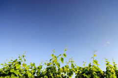 Grape Vine against blue sky Royalty Free Stock Photos