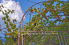 Grape vine against blue sky Stock Image