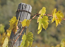 Grape vine in Autumn Royalty Free Stock Image