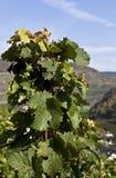 Grape Vine in the autumn Sun Stock Photo