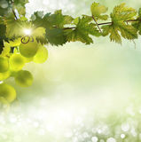 Grape vine background. Grapes backlit with sunshine grow on a vine against a soft focus background stock images