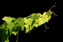 Grape vine on black background Royalty Free Stock Photography