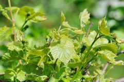 Grape vine in bloom. And buds Stock Photography
