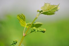 Grape vine in bloom. And buds Stock Photos