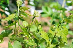 Grape vine in bloom. And buds Royalty Free Stock Image