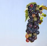Grape vine and blue sky Royalty Free Stock Photo