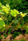 Grape vine branch stock photo