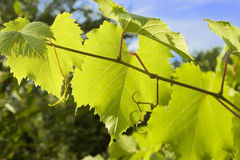 Grape vine branch Royalty Free Stock Photos
