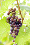Grape vine. Close up of grape vine royalty free stock image