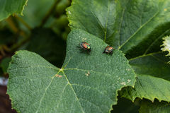 Grape vine destroyers are back for a visit - Japanese beetles Stock Image