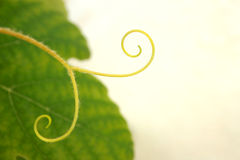Grape vine detail royalty free stock photography