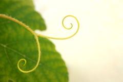 Grape vine detail Royalty Free Stock Photography