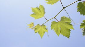 Grape vine stock footage