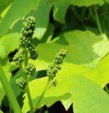 Grape vine flower buds. |Close up Stock Photography