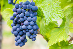 Grape-vine in a French vineyard. Near the city of Colmar in the Alsace region Royalty Free Stock Photos