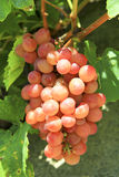 Grape on vine Stock Photography
