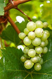 Grape on the Vine. At Gray  Monk Vineyard Royalty Free Stock Image