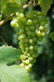 Grape Vine. A green Grape Vine in a garden Royalty Free Stock Photography