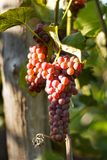 Grape on grape vine with green leaves. On suset stock photography