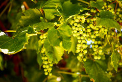 Grape vine Stock Image