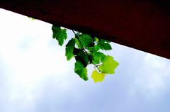 Grape vine. The green grape vine on the roof is very Royalty Free Stock Photography