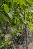 Grape Vine, Green. Grape vines, green grapes, growing grapes in the garden stock images