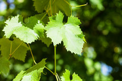 Grape vine in green vineyard Royalty Free Stock Photography