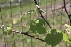 Grape Vine, Green, wire fence, Outside stock photo