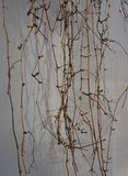 Grape vine on the grey wall with beautiful shadows royalty free stock photography