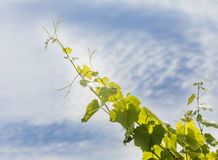 Grape vine growing Stock Images