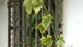 Grape Vine Growing Over an Antique Window. Antique, decorative, wrought iron railings over an old window with a grape vine growing across it. Bunches of purple stock footage