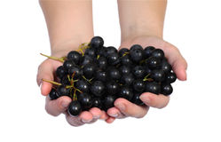 Grape vine in a hands. Grape vine in a human hands isolated on the white Stock Images