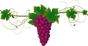 Grape Vine illustration Stock Photo