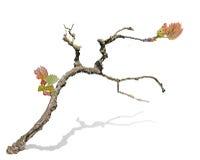Grape vine isolated on white Royalty Free Stock Image