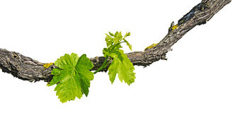 Grape vine isolated on white. Background Royalty Free Stock Photography