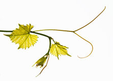 Grape vine isolated on white Royalty Free Stock Photos