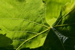 Grape vine leaf Stock Image