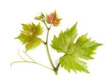 Free Grape Vine Leaf Isolated White Background Stock Images - 93897414