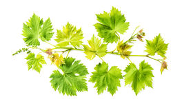 Grape vine leaf isolated white background Fresh green leaves Royalty Free Stock Photo