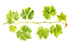 Grape vine leaf isolated white background Fresh green leaves Stock Photography