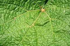Grape vine leaf macro background Royalty Free Stock Photo