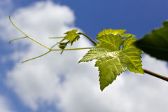 Grape vine leaf over cloudy sky Stock Photo