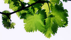 Grape vine leaf Royalty Free Stock Images