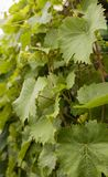 Grape vine leaves Royalty Free Stock Images