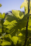 Grape vine leaves. Closeup of a backlit grape vine leaf and plant Stock Photos