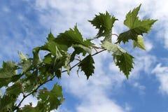 Grape vine leaves. Over cloudy sky Stock Photos